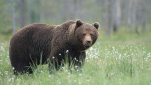 En brunbjörn står på en grön äng.