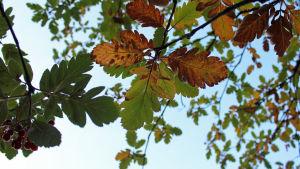 Puun lehtiä ruskan väreissä
