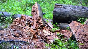 Murknande träd vid stigen