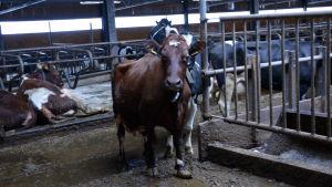 Kor i ladugård i Mörskom