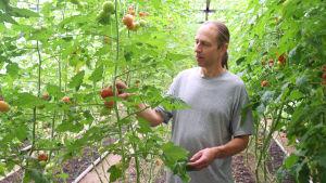 Man står i ett växthus. Runtom honom finns det massor av tomatplantor