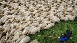 Unkarilainen lammaspaimen paimentaa racka-rotuisia lampaita kesälaitumelle.