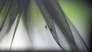 malariamyggor