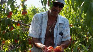 persikoita kerätään tiraspolissa transdnistriassa