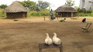 hönor och lerhyddor i norra uganda