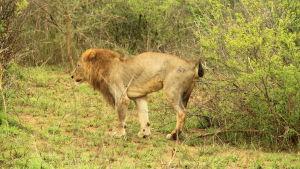 kissande lejon