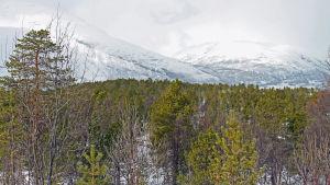 Ung skog på marken ovanför Frøy-linjens kommandoplats i Hatteng i Storfjord i Nordnorge.