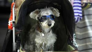 Hund med solglasögon som sitter i en barnkärra.