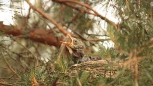 En björktrast fågelunge gapar efter mat