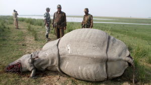 Forestry officials stand near a dead, one-horned Rhino which was killed by the poachers, inside the Pobitora Wildlife Sanctuary in Morigaon district of Assam about 50 km from Guwahati city, India, 15 November 2014. The Rhino was shot dead by the poachers
