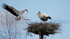 Vit stork försöker häcka i Koskis.