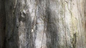 Puun runkoon on kaiverrettu nimikirjaimet ja sydän