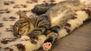 Katt som sover