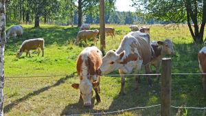 Östfinska kor betar under sommaren vid Esboviken