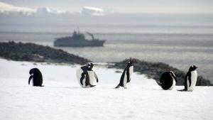 Pingviner på snö i Antarktis med chilenskt forskningsfartyg i bakgrunden.