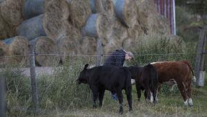 nainen syöttää lehmille ruohoa aidan raosta