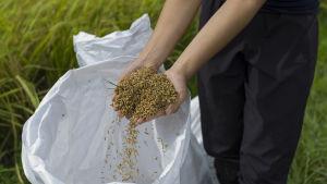 Skördat ris i Kina.