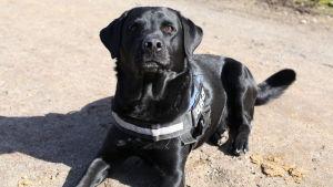 Rehabiliteringshunden Amos är en en aktiv, rörlig labrador som gillar att apportera