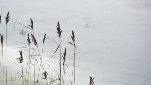 Vass vid strandkanten i frusen småbåtshamn.