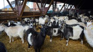 Getter på Ånäs gård i Kungsböle i Strömfors