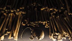Skallar och skelettdelar av offren för folkmordet i Rwanda syns här under en utställning i Kigali.
