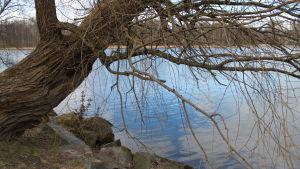 Vanha puu kaartuu rantakivikon ylle Vanajaveden rannalla