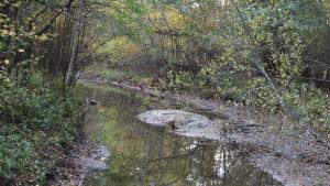 Lågvatten har tömt en bäck i Tvärminne.
