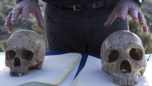 Nykyihmisen kallo vasemmalla ja neandertalilaisen oikealla