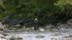 Brunbjörn i skogen på ön Hokkaido i norra Japan.
