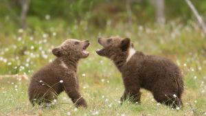 Två björnungar leker på en grön äng.