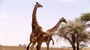 parittelevat kirahvit