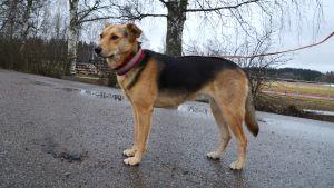 Hunden Sofi ska hjälpa leta efter Harry Karjalainen.