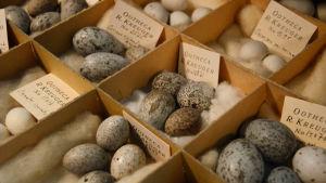 Ägg i låda ur R. Kreugers äggsamling