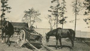 Dragonhästar vid stallet i Tölö i Helsingfors år 1918.