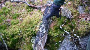 Harald Svens pekar ut tjärstubbe, svartnat gammal trä.