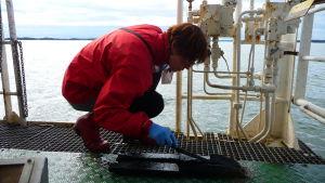 Irma Puttonen, doktorand vid ÅA, undersöker sediment utanför Åbo i augusti 2012