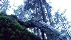 ett fallet träd