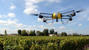 På en vingård i Frankrike används drönare med infraröda kameror tillatt avgöra när vindruvorna är mogna.
