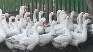 Gäss i en inhägnad i Moldavien