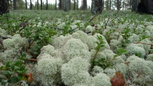 Vitmossa vid Kalajoki vandringsled