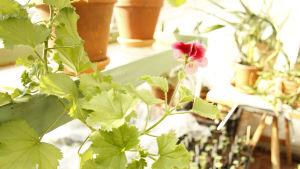 Kukkia hyötykasviyhdistyksen kasvihuoneella Annalassa
