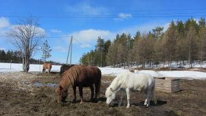 Islannin hevosia Raatteensalmen tilalla Kuusamossa.