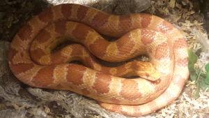 viljakäärme kerällä
