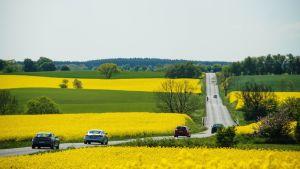 Tie läpi rypsipeltojen Ruotsissa.
