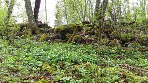 Vitsippsbacke i en skogsglänta med mossbelupna stenar i bakgrunden.