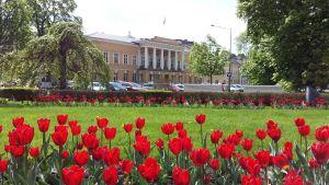 Åbo Akademis huvudbyggnad i ett tulpanhav.