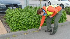 Parkeringen vid Saunalahden koulu i Esbo, arbetsledare Jenny Wallén visar var staden sprutat glyfosat