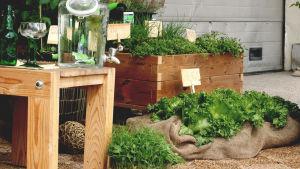 Salaatti on istutettu juuttikankaalla verhottuun kasvusäkkiin.