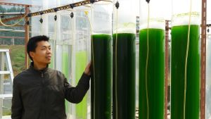 Forskaren Liandong Zhu vid en algodling på Vasa universitet.
