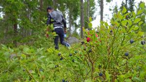 Plocka blåbär i Esboskogarna.